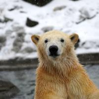 Eisbär Erlebnis Zoo Hannover