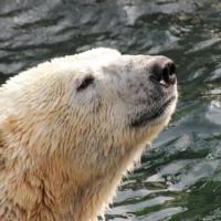 Eisbär Sprinter 2