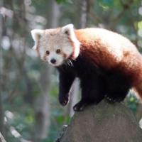 Panda Weibchen