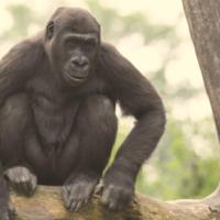 Gorilla Weibchen Mayumi Foto T.Riebling Erlebnis Zoo Hannover